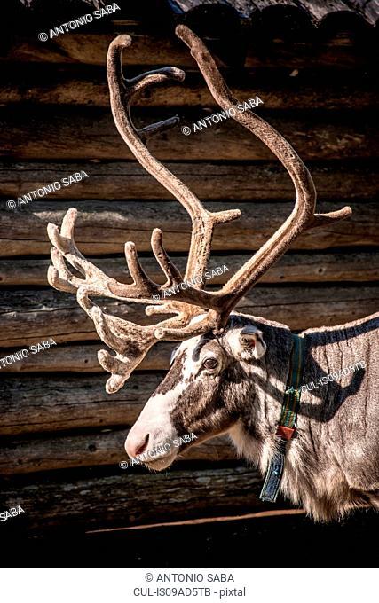 Reindeer, Lapland, Sweden