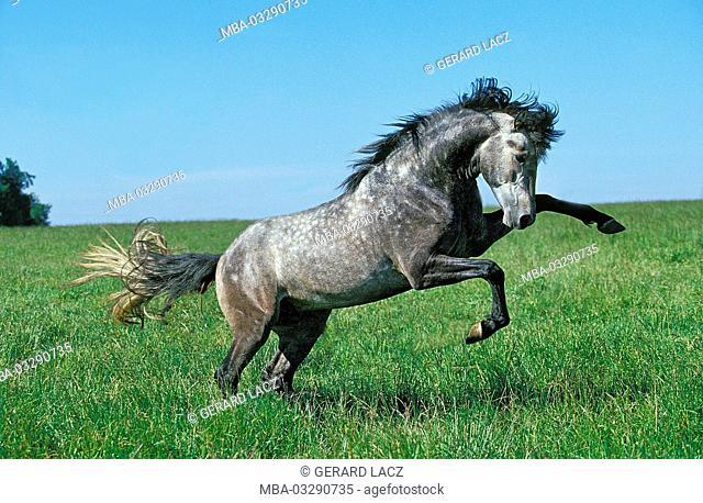 Lusitano stallion, meadow, run, rebel