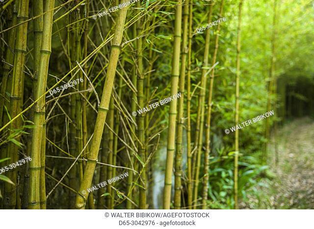 Portugal, Azores, Sao Miguel Island, Furnas, Terra Nostra Garden, bamboo forest