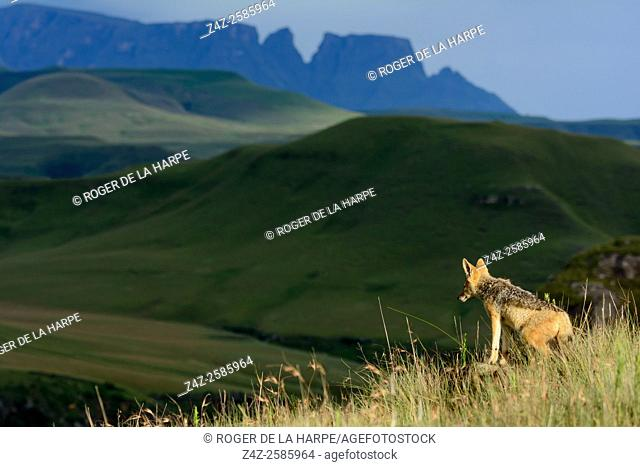 Black-backed jackal (Canis mesomelas) with Monk's Cowl and Cathkin Peak in the background. Giant's Castle Game Reserve. Ukhlahlamba Drakensberg Park