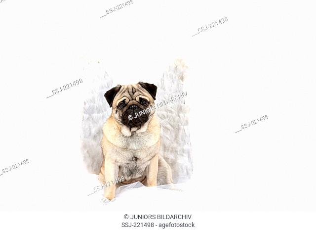 Pug. Adult male sitting, wearing angels wings. Studio picture against a white background