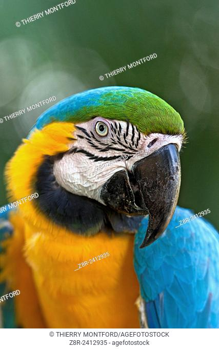 Ara ararauna. Blue and gold macaw, or blue and yellow macaw. Portrait. Salvation islands. French Guiana