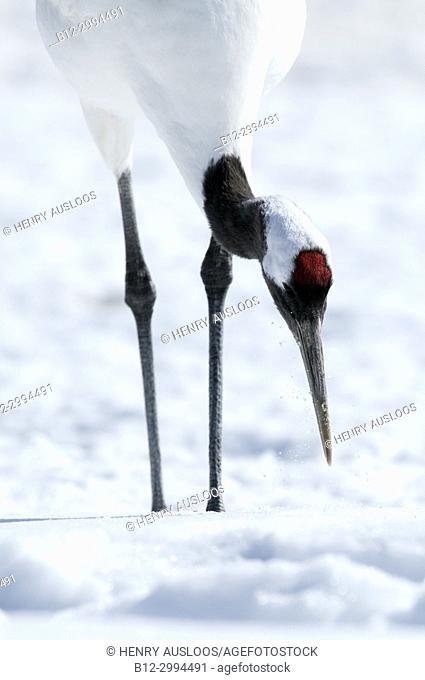Japanese crane, Red-crowned crane (Grus japonensis), close-up, Japan