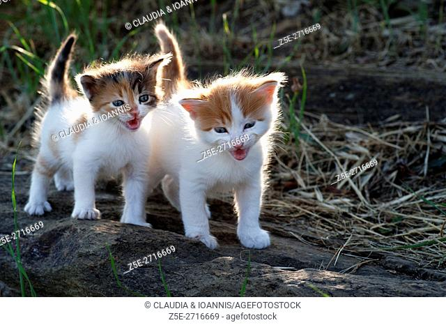 Two four weeks old kittens crying outdoors