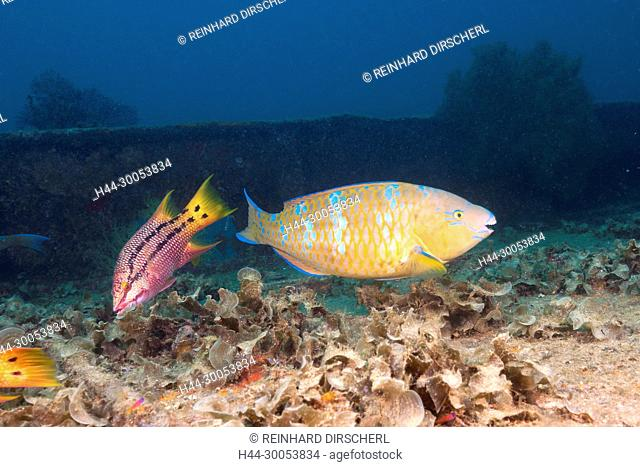 Blue-barred Parrotfish at Fang Ming Wreck, Scarus ghobban, La Paz, Baja California Sur, Mexico