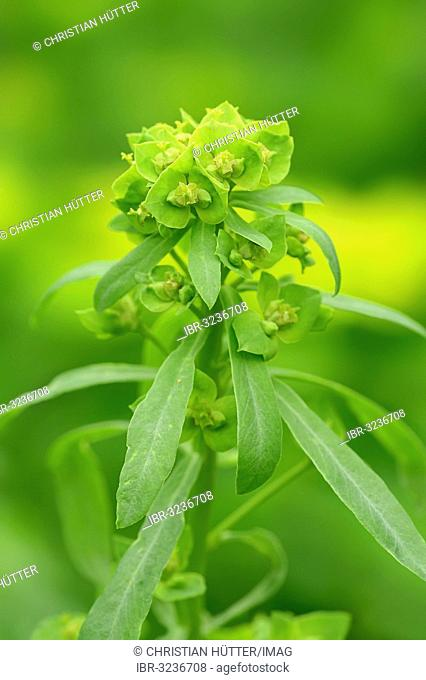 Green spurge or Leafy spurge (Euphorbia esula)