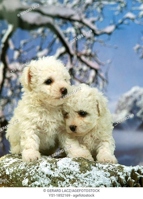 Bichon Frise Dog, Pup in Winter