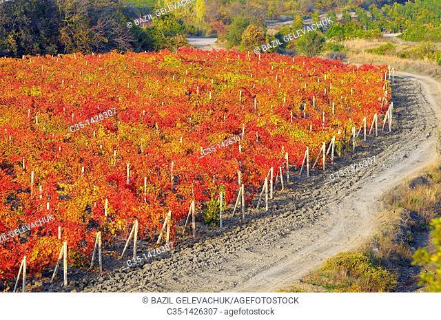vineyard autumn Ukraine