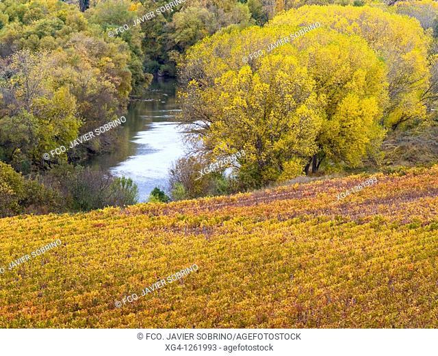 Viñedos en otoño junto al río Ebro, frontera en este punto entre La Rioja y Euskadi - España