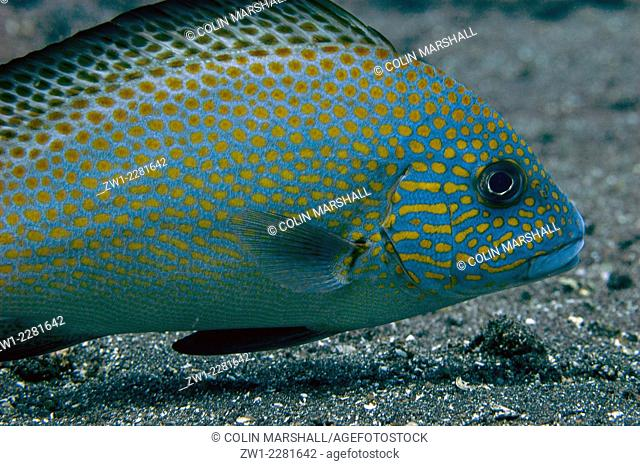 Sub-adult Painted Sweetlips (Diagramma picta) on black sand, Hairball 2 dive site, Lembeh Straits, Sulawesi, Indonesia