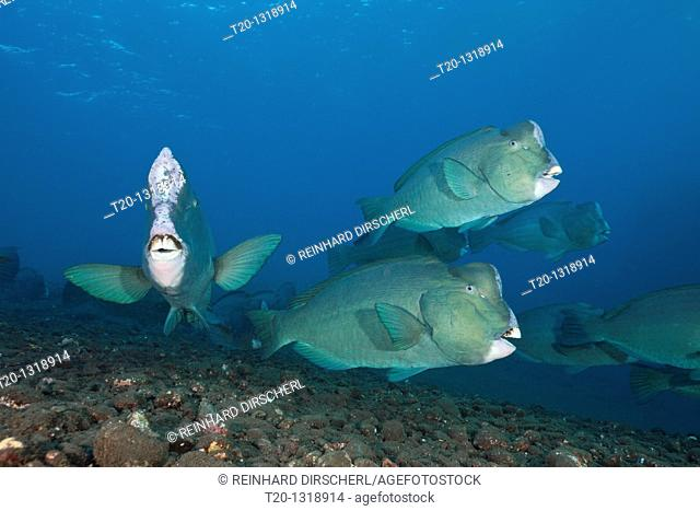 Group of Bumphead Parrotfish, Bolbometopon muricatum, Tulamben, Bali, Indonesia
