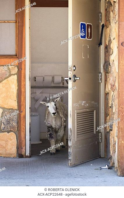 Mountain goat Oreamnos americanus, yearling in outhouse, Mount Evans Summit Area, Colorado, USA