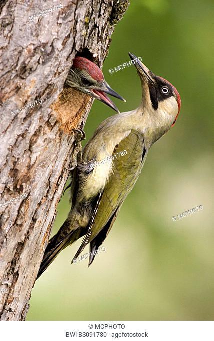green woodpecker (Picus viridis), female choking feed, Austria