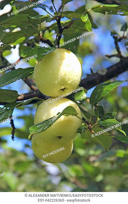 Ripe apples hang on tree in garden. Rich crop of white apples in rural garden