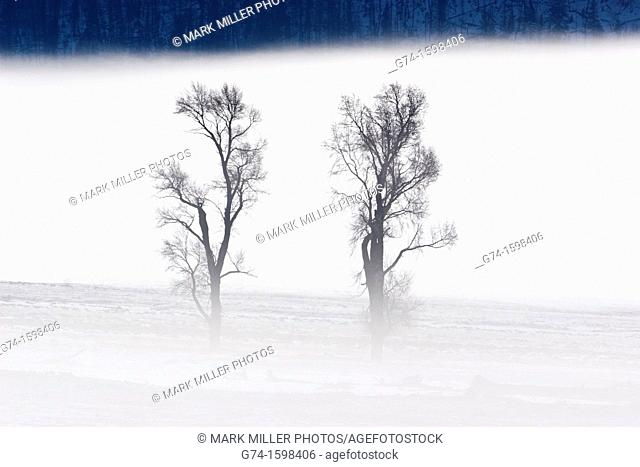 Pair of Cottonwood Trees in Winter Mist Lamar Valley Yellowstone National Park USA