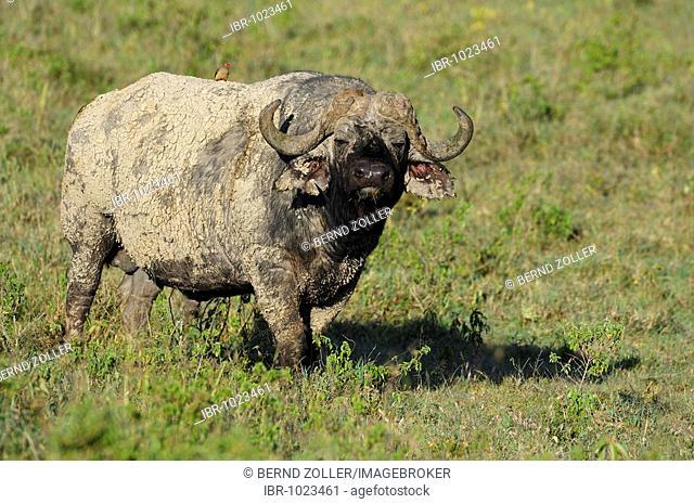 African Buffalo (Syncerus caffer), Lake Nakuru, national park, Kenya, East Africa