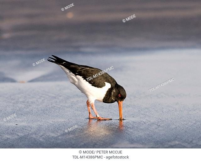 A Eurasian oystercatcher digging for food on the beach
