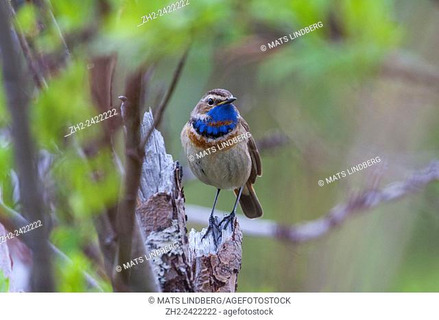 Bluethroat sitting on tree trunk, Gällivare, Sweden