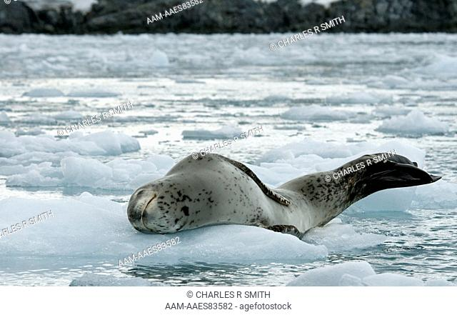 Leopard seal on ice floe at Palmer Station, Antarctica 20090112 (Hydrurga leptonyx)