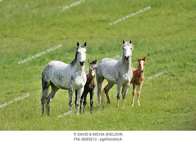 Connemara mares with their foals on a paddock
