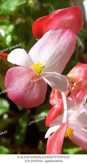 Begonia flower macrophotography