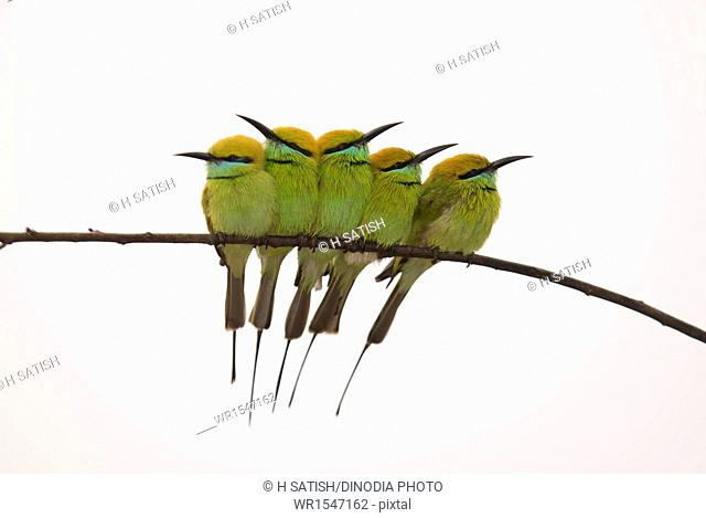 Green bee eaters sitting together in Maidanahalli at Karnataka India Asia