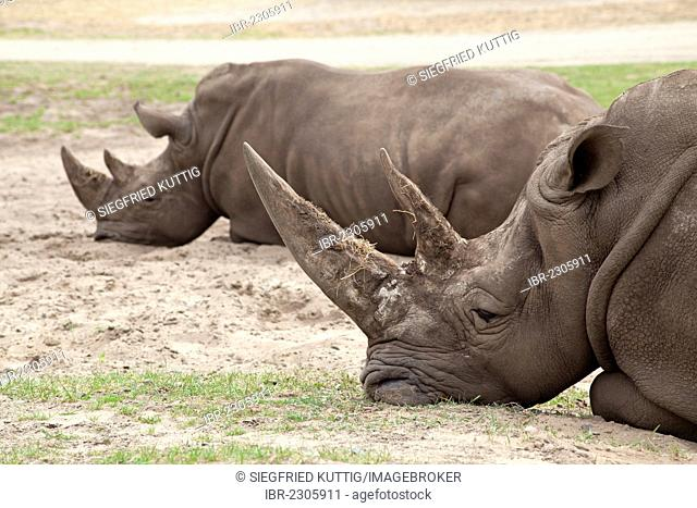 White rhinoceroses or Square-lipped rhinoceroses (Ceratotherium simum), Serengeti Park, Hodenhagen, Lower Saxony, Germany, Europe