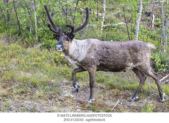 Reindeer, Rangifer tarandus walking in forest, having big antlers, looking in to the camera, Gällivare county, Swedish Lapland, Sweden