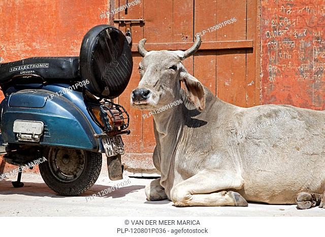 Sacred cow and motorcycle at Agra, Uttar Pradesh, India