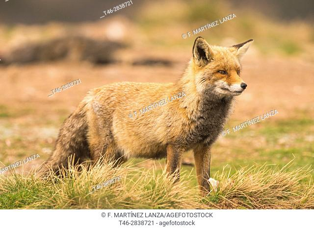 red fox or red fox (Vulpes vulpes), photographed in Espinar Segovia. (Pregnant female)