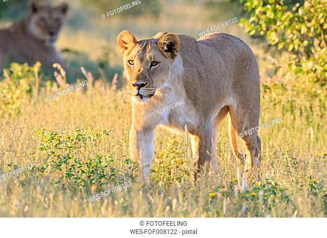 Namibia, Etosha National Park, walking lioness