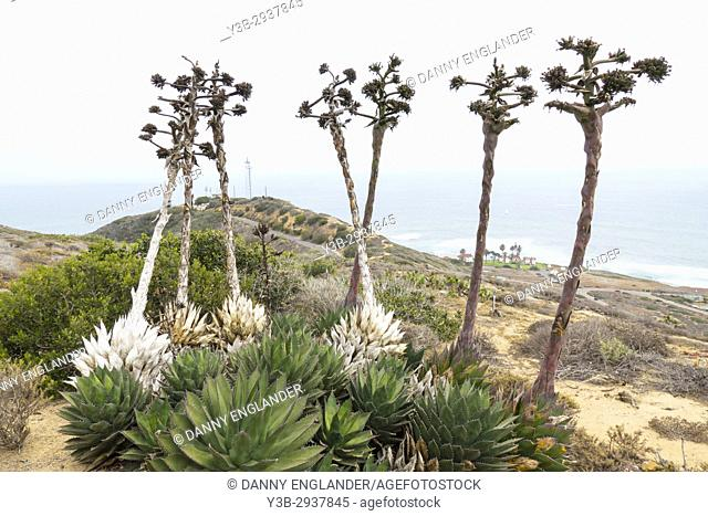Agave flowers stalks and plants overlooking a hill by the Pacific Ocean in San Diego