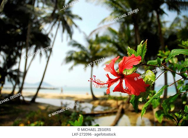 Tropical flower on the beach of Koh Mak Island, Koh Chang archipelago, National Park Mu Ko Chang, Trat, Gulf of Thailand, Thailand, Asia