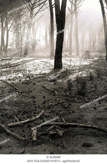 S.Rossore. Pine wood of via Prini, shot 1993 by Tatge, George for Alinari