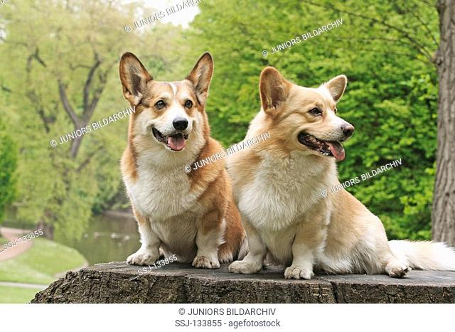 two Pembroke Welsh Corgis - sitting on stump