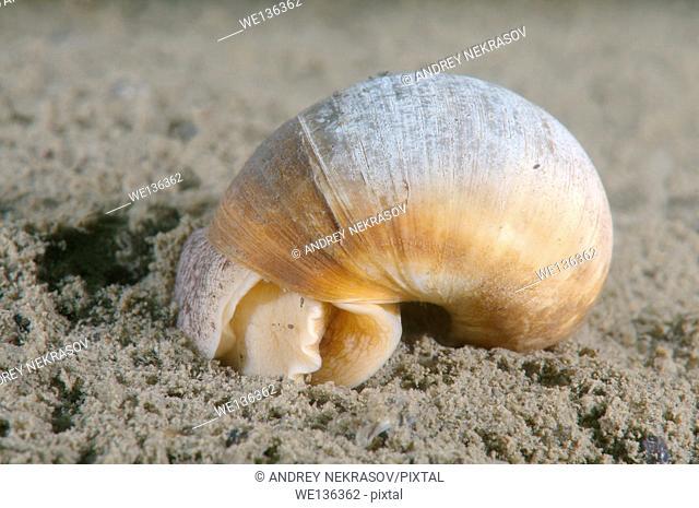Moon shell (Cryptonatica janthostoma) buries itself in the sand, Sea of Japan, Far East, Primorsky Krai, Russian Federation