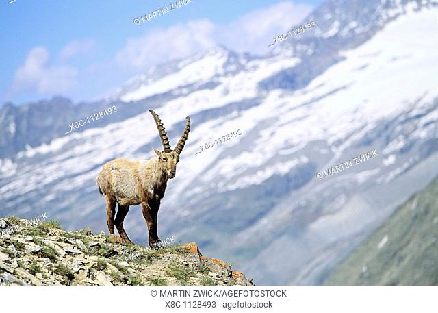 Alpine Ibex Capra ibex young bull in spring  The long winter in the high mountains etiolated and weakened the animals  The changing of the coats gives them an...