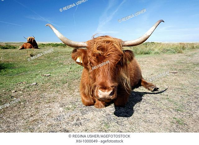 Scottish Highland Cattle Bos primigenius, cow resting in sand dune national park, Texel Island, Holland