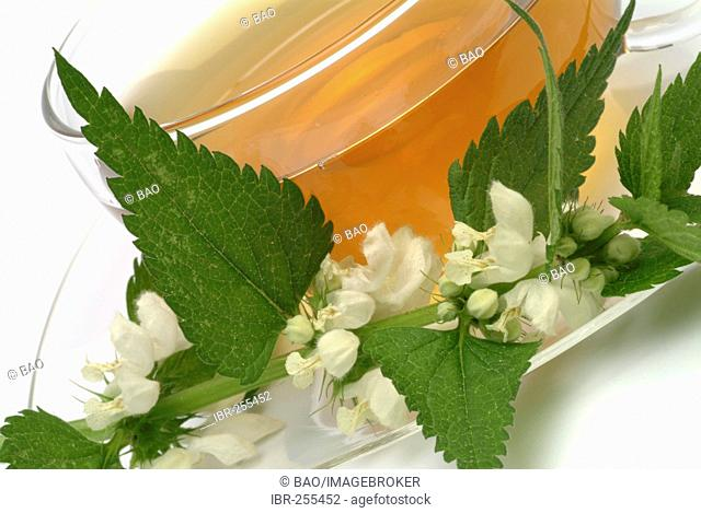 Herb tea made of Lamium alba, white dead nettle