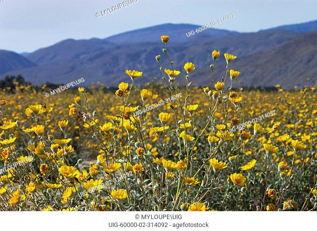 BIGELOW COREOPSIS Coreopsis bigelovii blooms in the CALIFORNIA POPPY RESERVE - ANTELOPE VALLEY, CALIFORNIA