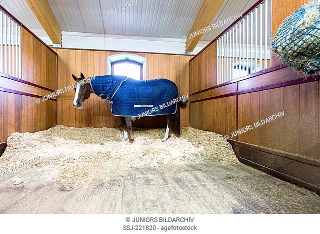 Domestic Horse. Warmblood horse wearing rug in a box with fresh bedding. Greta Britain