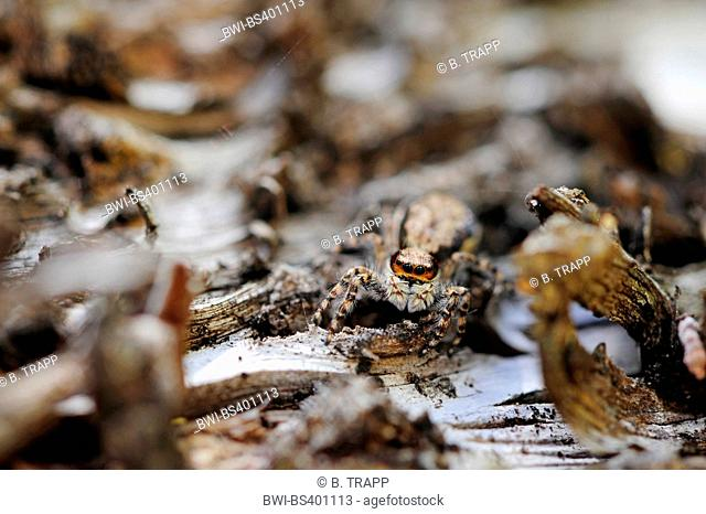 jumping spiders (Salticidae), looks into the camera, New Caledonia, Ile des Pins