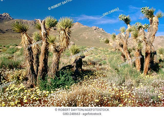 Wildflowers and Joshua Trees at Short Canyon, CA