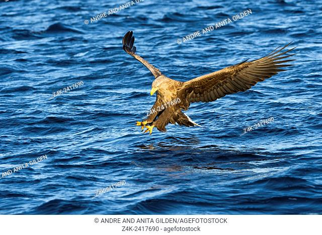 White-tailed eagle (Haliaeetus albicilla) catching fish in Norwegian bay