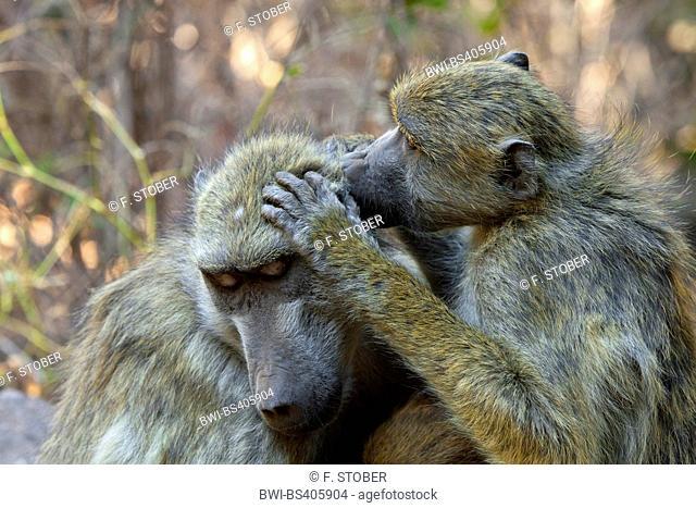 Chacma baboon, anubius baboon, olive baboon (Papio ursinus, Papio cynocephalus ursinus), two babbons delousing, Zambia