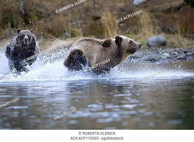 Grizzly bear (Ursus arctos horribilis), female chasing subdault (lighter cloloured) away from her cubs (off camera), Chilcotin Region, British Columbia, Canada