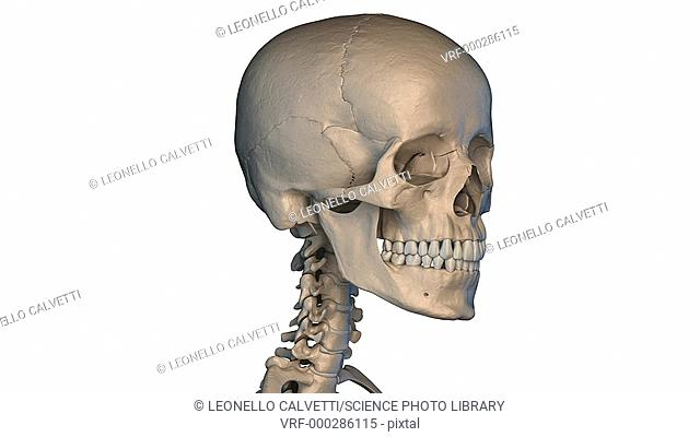 Human skull rotating on a white background, animation