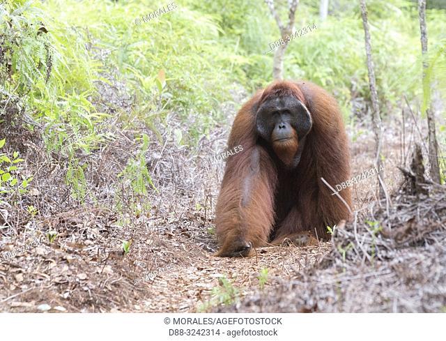 Asia, Indonesia, Borneo, Tanjung Puting National Park, Bornean orangutan (Pongo pygmaeus pygmaeus), adult male, walking on the ground