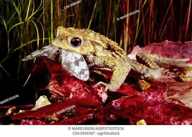 Freshwater Rivers. Common Toad (Bufo bufo) devouring butterfly. Rio Oitaven. Galicia. Spain. Europe
