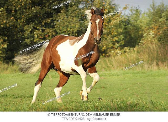 galloping Pinto